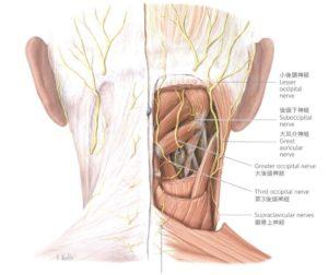 後頭部の解剖図