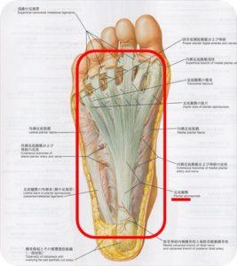 足底腱膜解剖図
