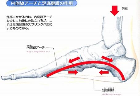 内側アーチと足底腱膜の作用