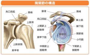 肩関節内構造