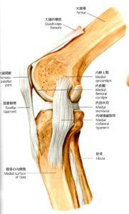 膝関節解剖図