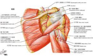 肩後面解剖図