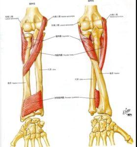 肘の回内回外解剖図