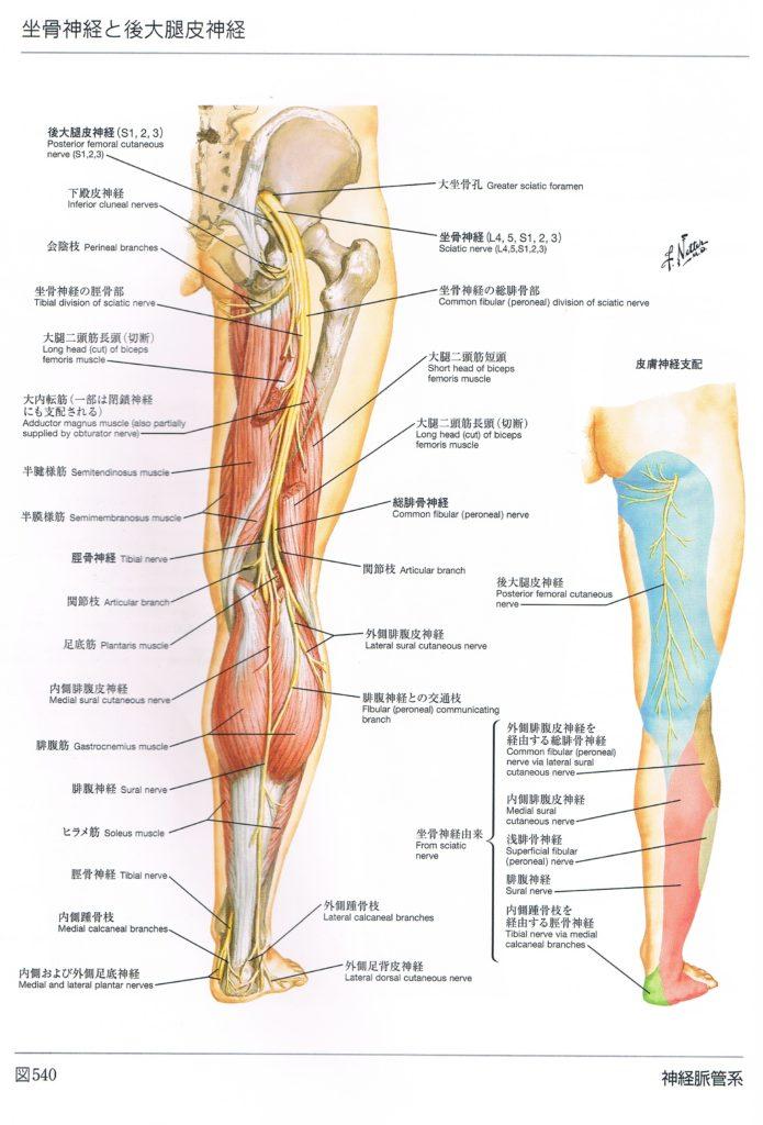 坐骨神経解剖