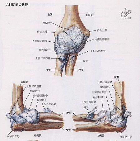 肘の靭帯解剖図