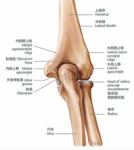 肘後面からみた解剖図