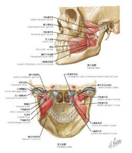 顎関節の筋肉解剖図