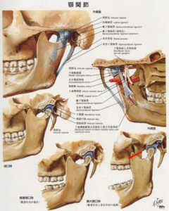 顎関節解剖図