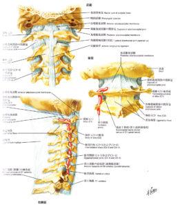 頸椎解剖図