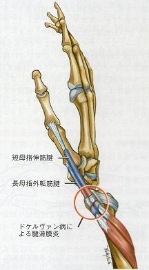 短母指伸筋腱長母指外転筋腱解剖図