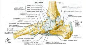 足関節内側から見た解剖図