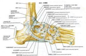 足関節外側からみた解剖図