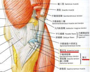 鵞足解剖図