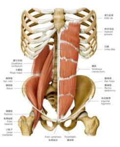 腸腰筋、腹筋解剖図