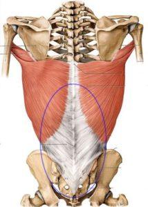 胸腰筋膜解剖図