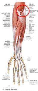 前腕屈筋群解剖図